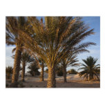 Tunisia, Sahara Desert, Douz, Great Dune, palm Postcard