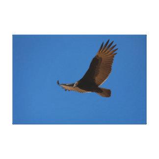 Turkey Buzzard in Flight Canvas Print