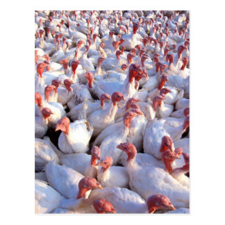 Turkey Farm Postcard