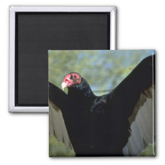 Turkey vulture spreading large wings 2 inch square magnet