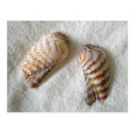 Turkey Wing Seashell Photography Postcards