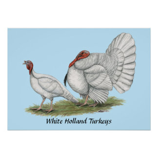 Turkeys White Hollands Poster