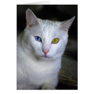 Turkish Angora Cat With Mismatched Eyes Cards