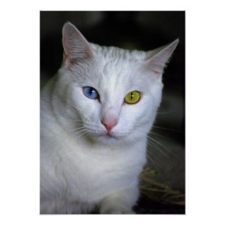 Turkish Angora Cat With Mismatched Eyes Poster