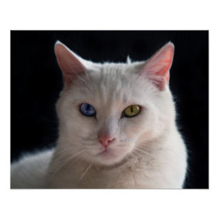 8b114f92eed8ef Turkish Angora Cat with Odd Eyes Poster
