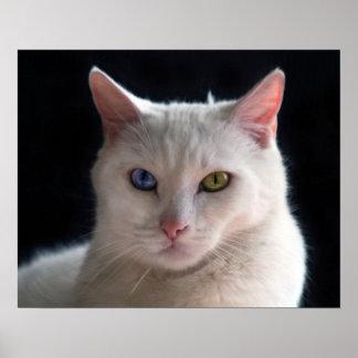 Turkish Angora Cat with Odd Eyes Poster