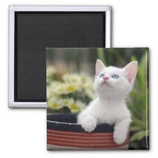 Turkish White Kitten (2.5 Months Old ) 2 Inch Square Magnet