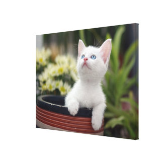 Turkish White Kitten (2.5 Months Old ) Canvas Print