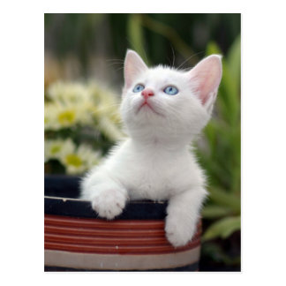 Turkish White Kitten (2.5 Months Old ) Postcard