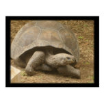 Turning Tortoise Post Card