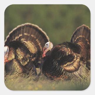 Turquía salvaje, gallopavo del Meleagris, varones Pegatina Cuadrada
