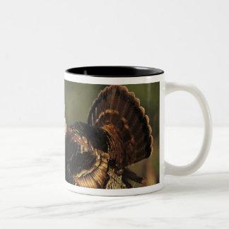 Turquía salvaje, gallopavo del Meleagris, varones Tazas De Café
