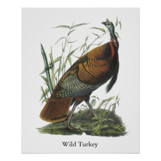 Turquía salvaje Juan Audubon Posters