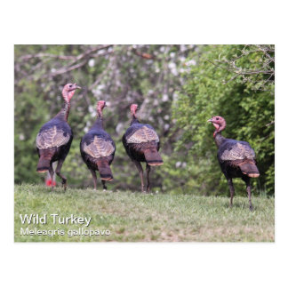 Turquía salvaje tarjeta postal