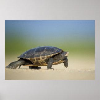 Turtle / Amphibian Close Up Photo Poster