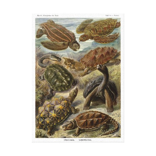 Turtle and Tortoise by Ernst Haeckel Canvas Print