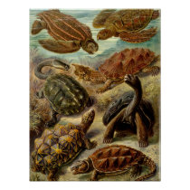 Turtle (Chelonia) by Haeckel Poster