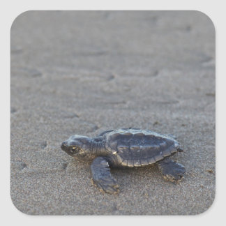 Turtle hatchlings square sticker