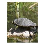 Turtle on a Rock Postcard
