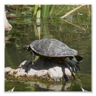 Turtle on A Rock Poster Print
