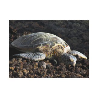 Turtle on the Lava Canvas Print