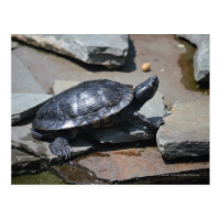 turtle on the rocks post cards