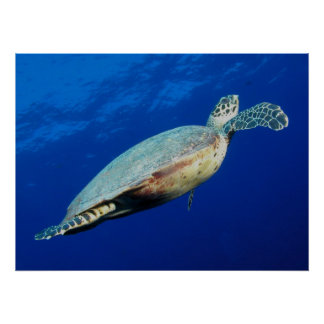Turtle Rising Print