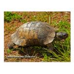 Turtle. Testudo Hermanni Hermanni, Greece. Postcard