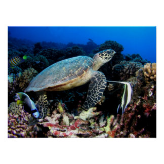 Turtle with Fish Poster