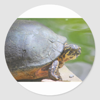 Turtle with Hard Shell Classic Round Sticker