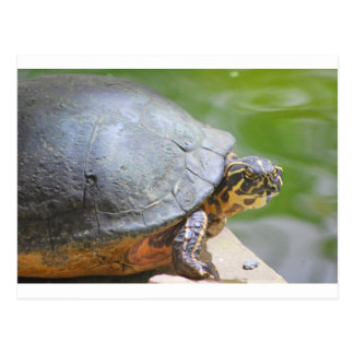 Turtle with Hard Shell Post Cards