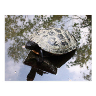Turtle with reflection postcards