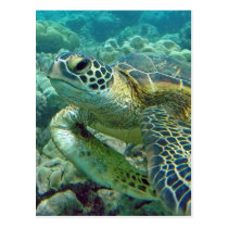 Turtles in Hawaii Postcard