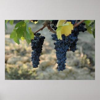Tuscan Grapes Poster