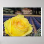 Tuscan Roses Print