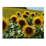 Tuscan_Sunflowers2 Tarjetas Postales