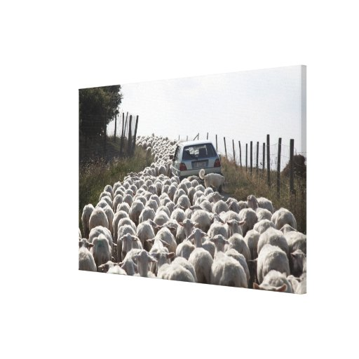tuscany farmland road, car blocked by herd of canvas print