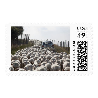 tuscany farmland road, car blocked by herd of postage stamp