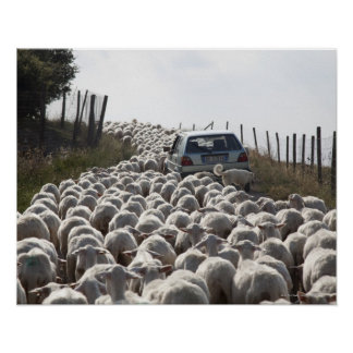 tuscany farmland road, car blocked by herd of poster