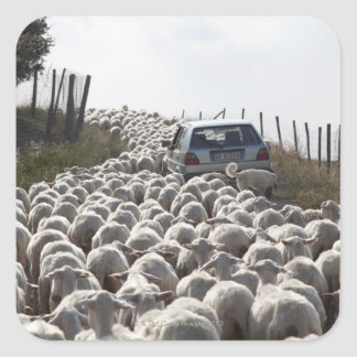 tuscany farmland road, car blocked by herd of square sticker