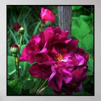 Tuscany Rose print