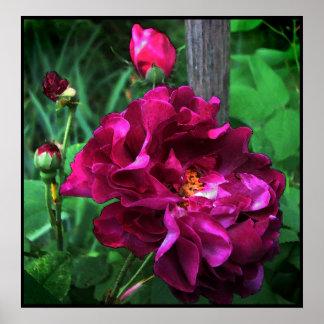 Tuscany Rose Poster