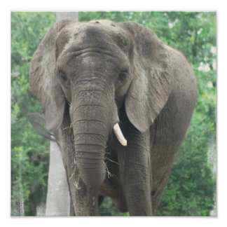 Tusked Elephant  Poster