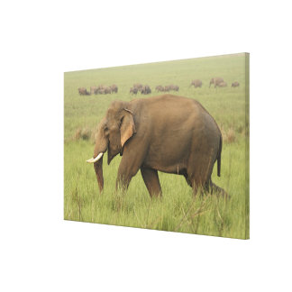 Tusker and its herd,Corbett National Park, Stretched Canvas Print