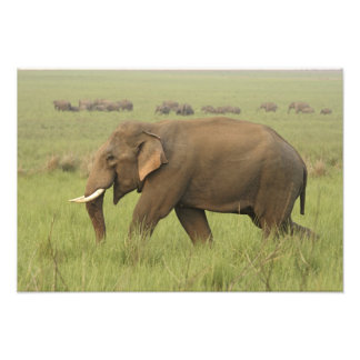 Tusker and its herd,Corbett National Park, Photographic Print