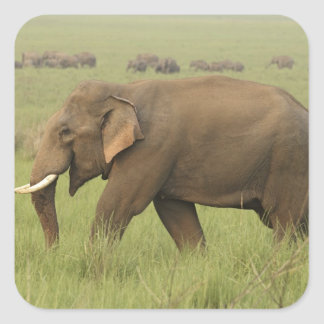 Tusker and its herd Corbett National Park Square Sticker