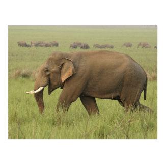 Tusker y su manada, parque nacional de Corbett, Tarjeta Postal