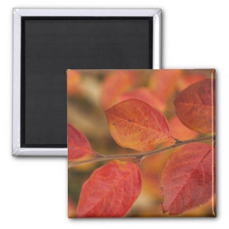 Twig covered with autumn leaves 2 inch square magnet