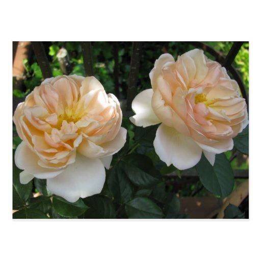 Twin English Roses Postcard