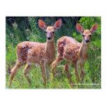 Twin Fawns in the Hawkweed, whitetail deer Postcar Postcard
